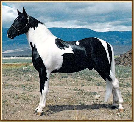 PRIDE'S THRILL-AH-GEE - Tennesse Walking Horse at stud. Flashy black and white tobiano, with world champion bloodlines. Thriller's sire is Pride Of Alen Again, SSHBEA 2000 World Grand Champion.  Thriller's dam is a daughter of Pride's Dark Spirit. His pedigree offers a special combination of both walking and spotted genes.